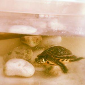 tartaruga acquario