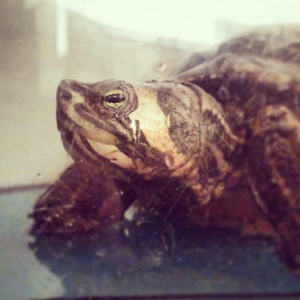 risveglio tartaruga dal letargo