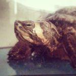 tartaruga d'acqua: 5 modi per convivere!