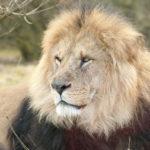 il leone è stanco