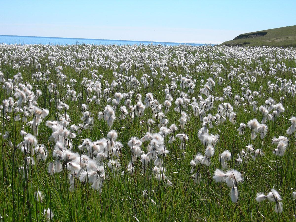 fiori cotone islanda